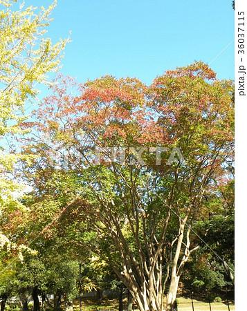 綺麗に色付いたケヤキの紅葉 36037115