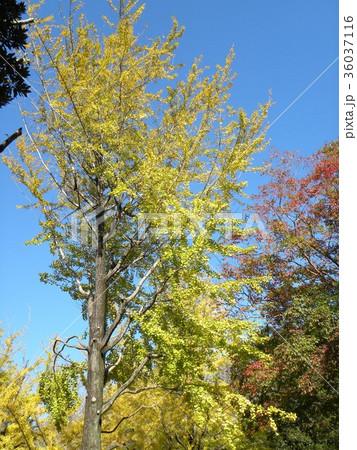 黄色に色付いた大きな胃腸の黄葉 36037116