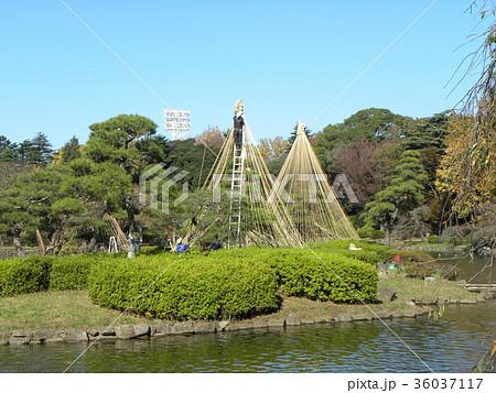 千葉公園綿打池の冬の風物詩雪吊り 36037117
