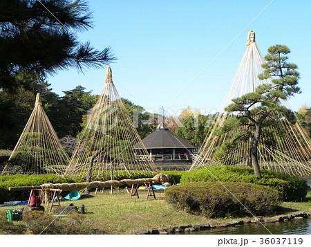 千葉公園綿打池の冬の風物詩雪吊り 36037119