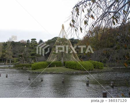 千葉公園綿打池の冬の風物詩雪吊り 36037120
