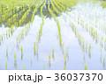 田んぼ 早苗 水田の写真 36037370