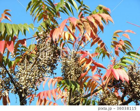 赤く色付いたハゼノ木の紅葉とハゼの実 36038115