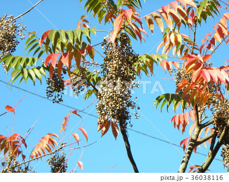 赤く色付いたハゼノ木の紅葉とハゼの実 36038116