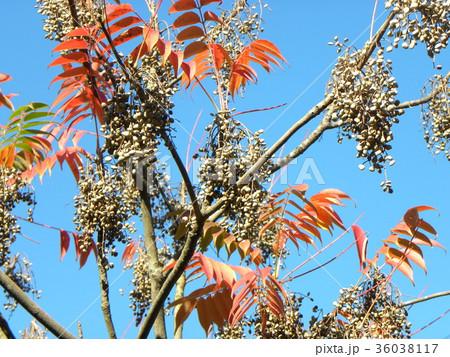 赤く色付いたハゼノ木の紅葉とハゼの実 36038117