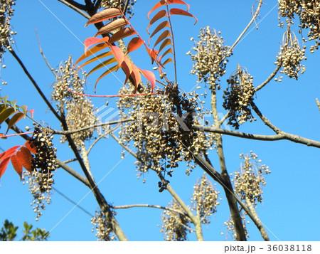 赤く色付いたハゼノ木の紅葉とハゼの実 36038118