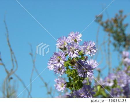 花の色が紫色の菊はクジャクアスター 36038123