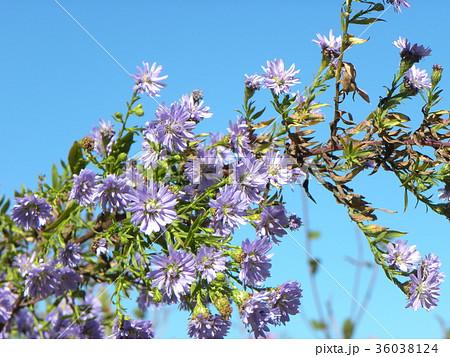 花の色が紫色の菊はクジャクアスター 36038124