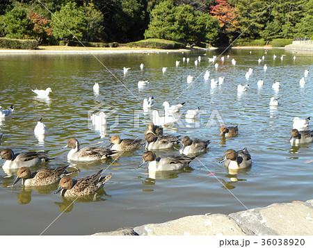 稲毛海浜公園に飛来したオナガガモとユリカモメ 36038920