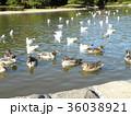 稲毛海浜公園に飛来したオナガガモとユリカモメ 36038921