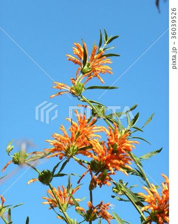 レオノチスの真っ赤な花 36039526