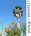 レオノチスの真っ赤な花とヤシの木 36039527