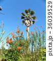 レオノチスの真っ赤な花とヤシの木 36039529