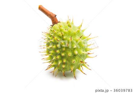 chestnut isolated 36039783