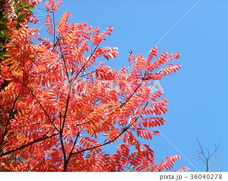 赤く色付いたハゼノ木の紅葉 36040278