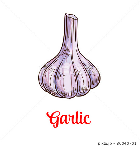 Garlic vegetable sketch for spice and food design 36040701