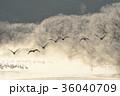 樹氷に囲まれたねぐらから飛び立つタンチョウ(北海道・鶴居) 36040709
