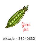 えんどう豆 エンドウマメ えんどうのイラスト 36040832