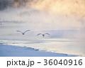 タンチョウのねぐら立ち(北海道・鶴居) 36040916