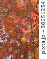モミジ 紅葉 葉の写真 36051254