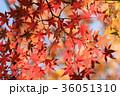 モミジ 紅葉 葉の写真 36051310