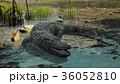 ワニ 36052810