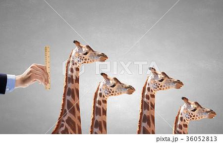 Measuring giraffe 36052813