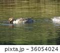 オナガガモ 池 野鳥の写真 36054024