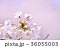 満開の桜 ソメイヨシノ クローズアップ 36055003