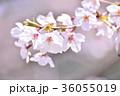 満開の桜 ソメイヨシノ クローズアップ 36055019