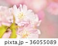 満開の桜 ソメイヨシノ クローズアップ 36055089