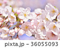 満開の桜 ソメイヨシノ クローズアップ 36055093
