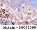 満開の桜 ソメイヨシノ クローズアップ 36055096