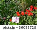 サンブリテニア サンブリテニア・スカーレット 花の写真 36055728