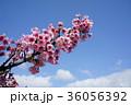 花 フラワー お花の写真 36056392