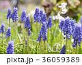 植物 ムスカリ 花の写真 36059389