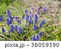植物 ムスカリ 花の写真 36059390