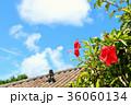 ハイビスカス 沖縄 竹富島の写真 36060134