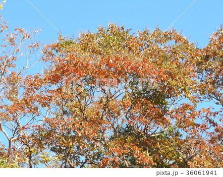 赤く色付いたケヤキの大木 36061941