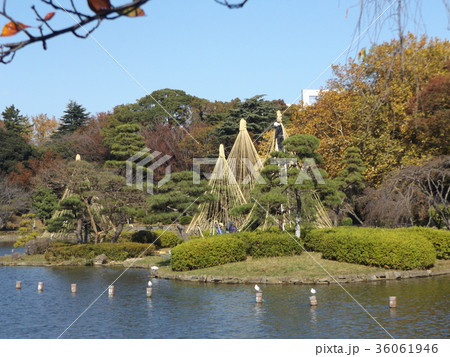 千葉公園綿打池の冬の風物詩雪吊り 36061946