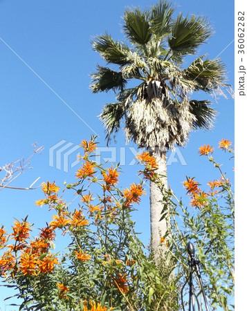 レオノチスの真っ赤な花とヤシの木 36062282
