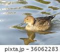 稲毛海浜公園のオナガガモ 36062283