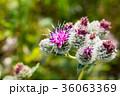 バードック ゴボウ お花の写真 36063369