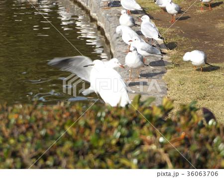 稲毛海浜公園に飛来したユリカモメとコサギ 36063706