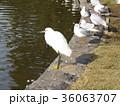 稲毛海浜公園に来たコサギとユリカモメ 36063707
