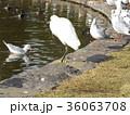 稲毛海浜公園に来たコサギ 36063708