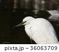稲毛海浜公園に来たコサギ 36063709