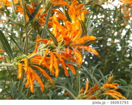 レオノチスの真っ赤な花 36063793