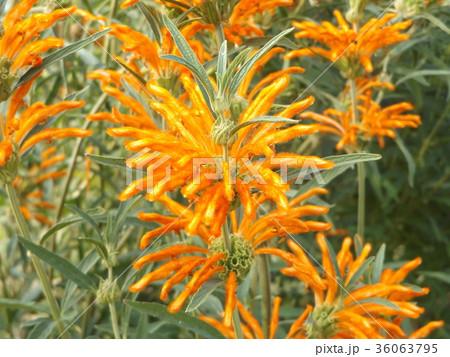 レオノチスの真っ赤な花 36063795