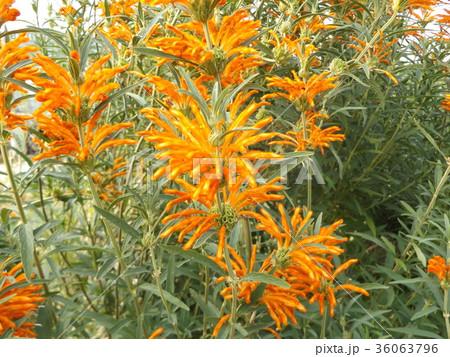レオノチスの真っ赤な花 36063796